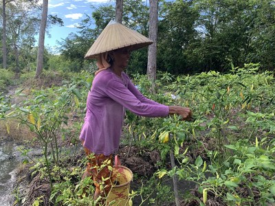 A member of a working group in Central Kalimantan is plucking pepper, one of the agriculture commodity that they grow together with GAR as part of the alternative livelihood programme.